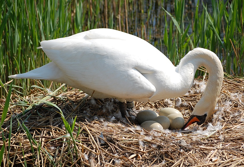 Swan's nest at the Lakes in the Three Brooks Local Nature Reserve, Bradley Stoke, Bristol.